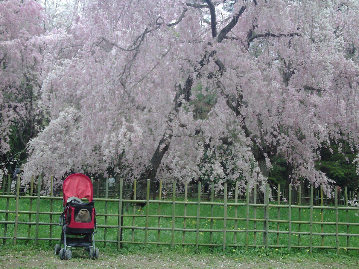 京都桜めぐり 京都御苑まで